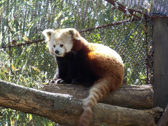 Knoxville Zoo: Red Panda