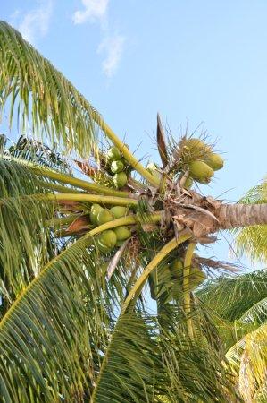 Hacienda Tres Rios: coconuts