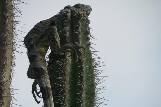 Santa Barbara Beach & Golf Resort, Curacao: Golf Course Cactus with Iguana