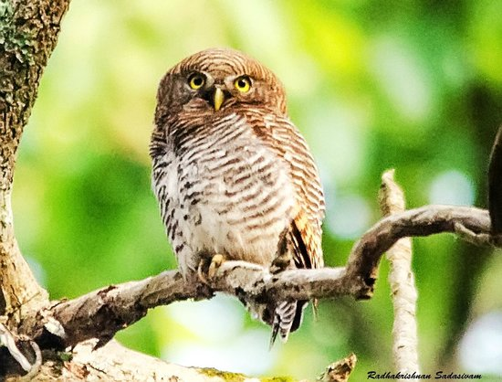 Thekkady - Woods n Spice, A Sterling Holidays Resort: Jungle Owlet. Taken at the Resort