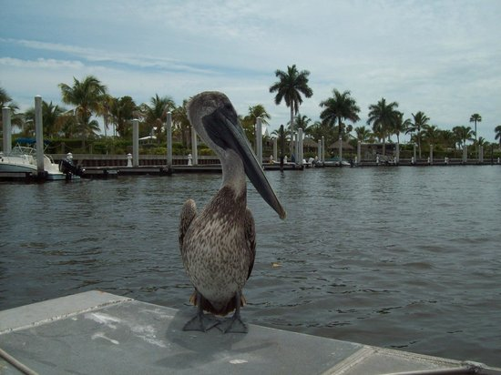Captain Jack's Airboat Tours : Pelican landed on the boat.