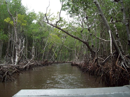 Captain Jack's Airboat Tours : Mangroves were beautiful.
