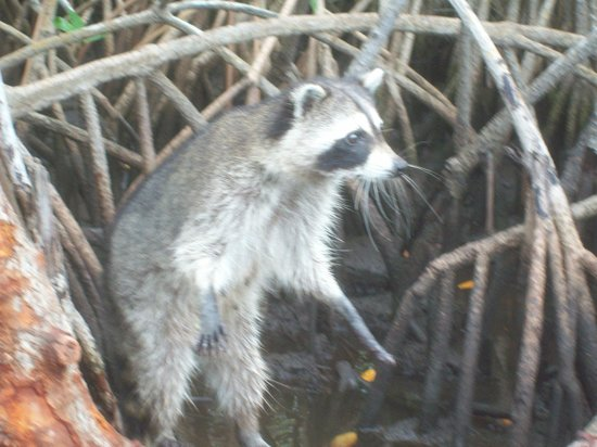 Captain Jack's Airboat Tours: The raccoon's were so entertaining.