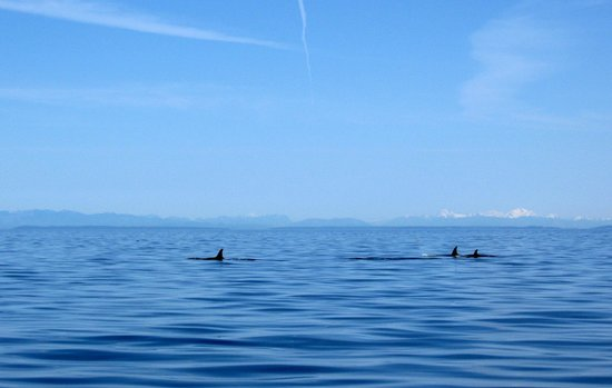 Western Prince Whale Watching: K Pod in Puget Sound