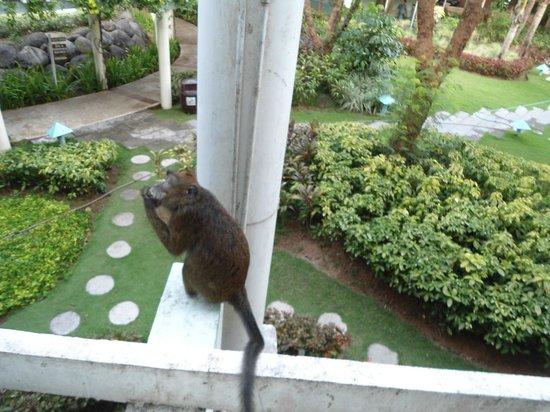 Camayan Beach Resort and Hotel: friendly monkeys