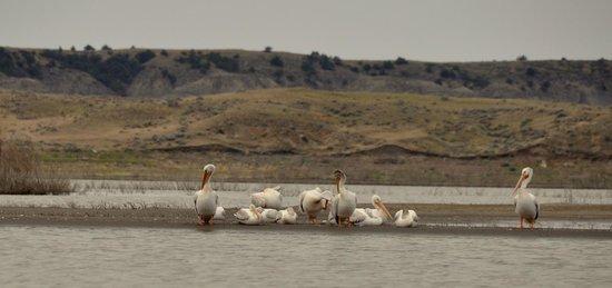 Fort Peck Reservoir: Pelicans preen.