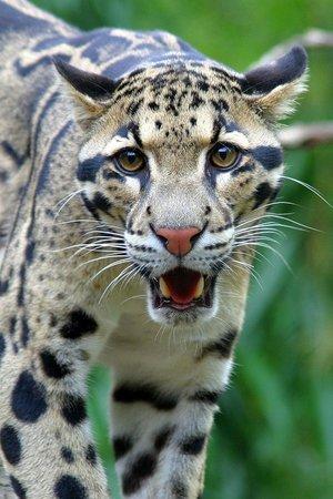 Nashville Zoo: Endangered Clouded Leopard