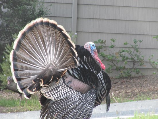 Carmel Valley Ranch: turkey walking the grounds