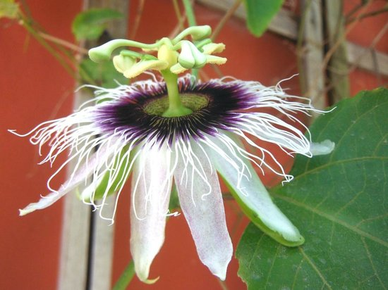 Travel In' Guest House: passion flower