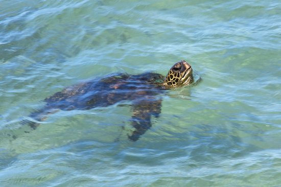 Kaleialoha Condominiums: Green sea turtle viewed from our lanai out front of condo