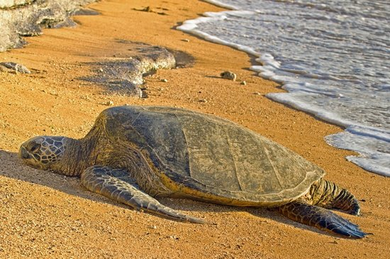 Kaleialoha Condominiums: Resting Sea Turtle on the beach during sunset