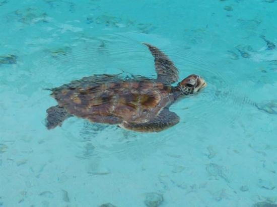 Le Meridien Bora Bora : tortue