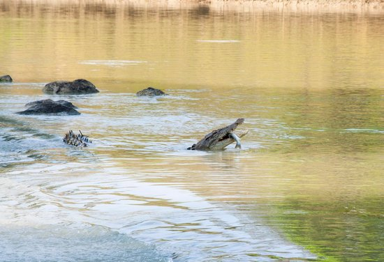 Border Store in Kakadu: Croc eating Barra at Cahills crossing