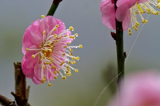 Kadoorie Farm and Botanical Gardens: Peach Blossom in the morning