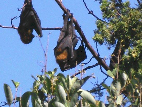 Royal Botanic Gardens : Flying Foxes Botanic Garden Sydney