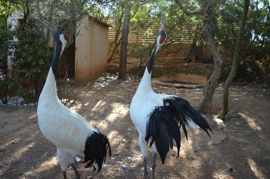 Zoo Natura Parc: grullas japonesas