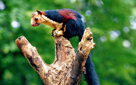 Malabar Giant Squirrel Wayanad