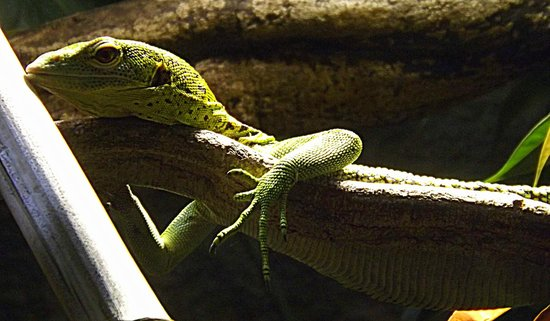 Chester Zoo: Lizard