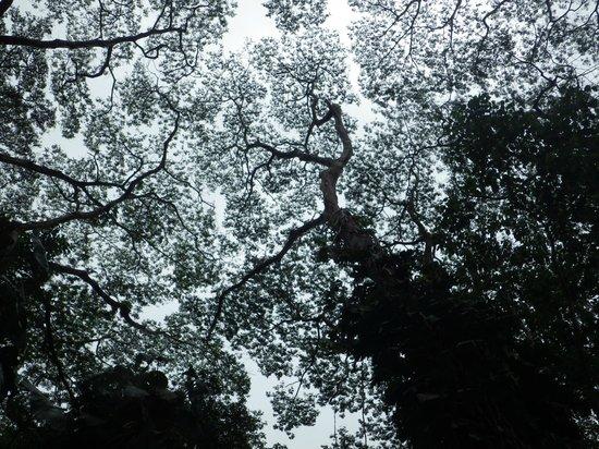 Manoa Falls: 木