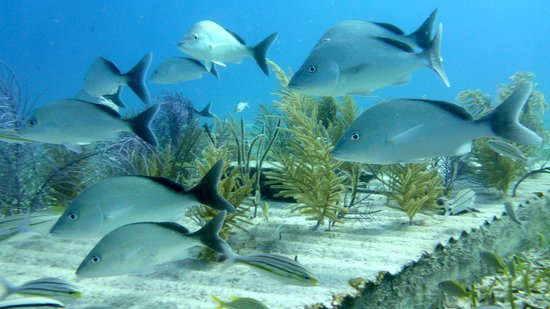 Market fish picture of bahamas ocean safaris eleuthera for Bahamas fish market