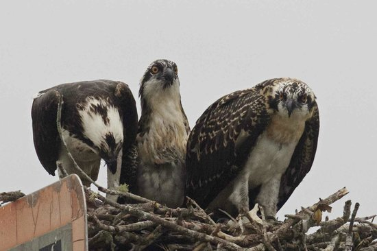 Chokoloskee Bay : ospreys and their young