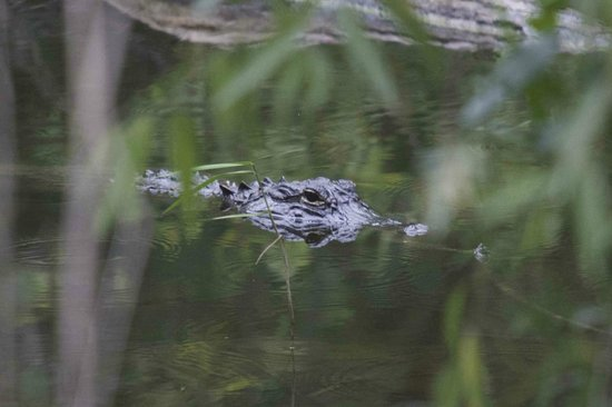 Chokoloskee Bay : small resident gator nearby