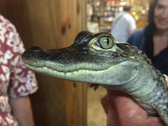 Wild Willy's Airboat Tours : Little gator
