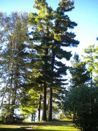 Sleepy Dog Cabins: White Pine -  Pinus Strobus