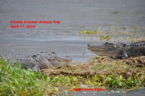 Florida Cracker Airboat Rides & Guide Service: Two big bulls having a nap in the sunshine.  Wow!