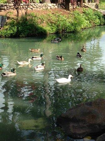 Maui Tropical Plantation: ducks