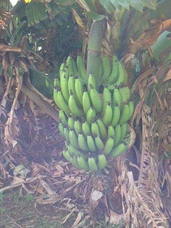 Maui Tropical Plantation: bananas