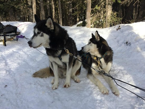 Snowy Owl Sled Dog Tours: The twins, taking a break.