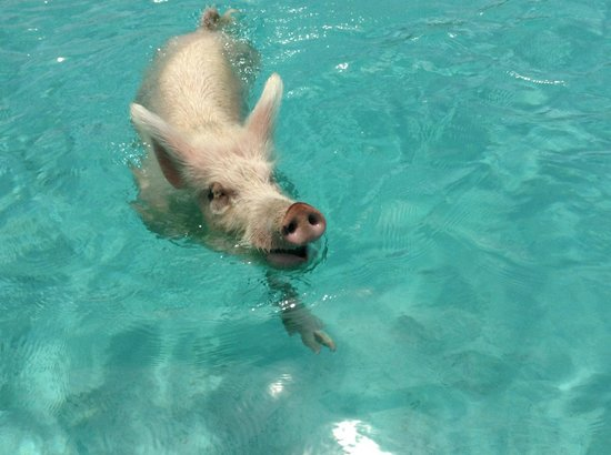 Great Exuma: swimming pig