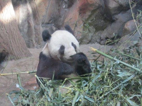 Beijing Zoo: Panda