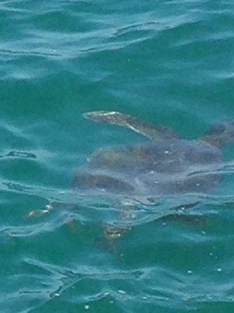 Bora Bora Bungalows: Friendly sea turtle!