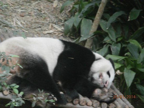 Singapore Zoo: This is White Panda for sure...;-)