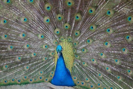 Bavaro Princess All Suites Resort, Spa & Casino: Peacock
