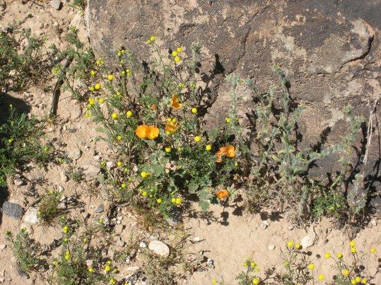 Deer Valley Petroglyph Preserve : Spring wildflowers