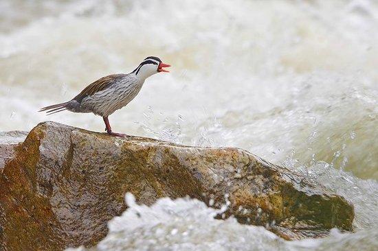 Guango Lodge: Torrent Duck