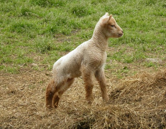 Kildare, Irlande : One of the many spring lambs at Cherryville House