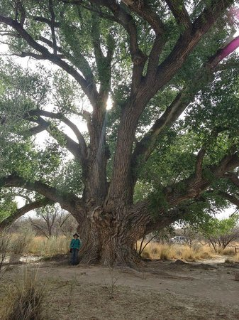 San Pedro Riparian National Conservation Area : 2nd largest Cottonwood