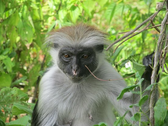 Jozani Forest Reserve : Жуют листочки