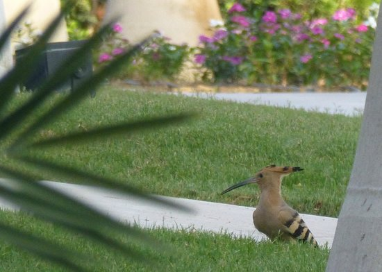 Sofitel Legend Old Cataract Aswan: Hoopoe in the grounds