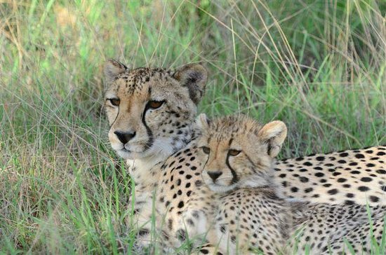 Kuname Lodge: Cheetah & cub