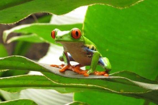 La Paz Waterfall Gardens: Red eyed tree frog!
