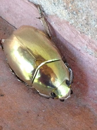 Cloudbridge Nature Reserve: Gold beatle