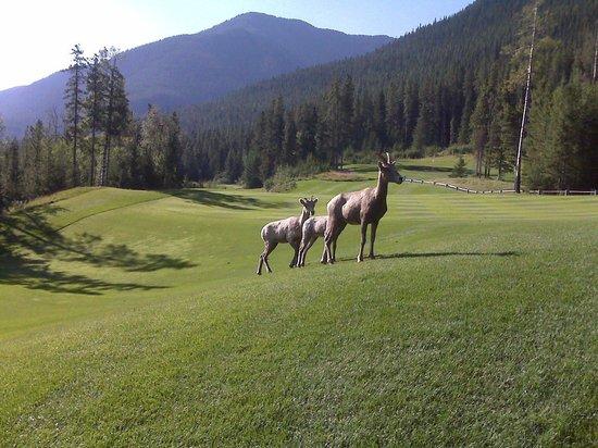 Stewart Creek Golf & Country Club: Sheep