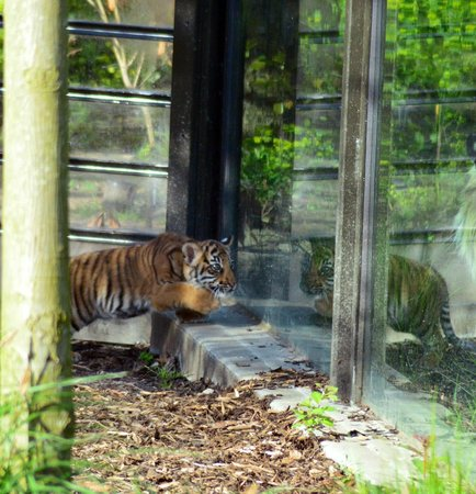 "ZSL London Zoo: Reflecting on ""Trouble""the 9 week old tiger cub."
