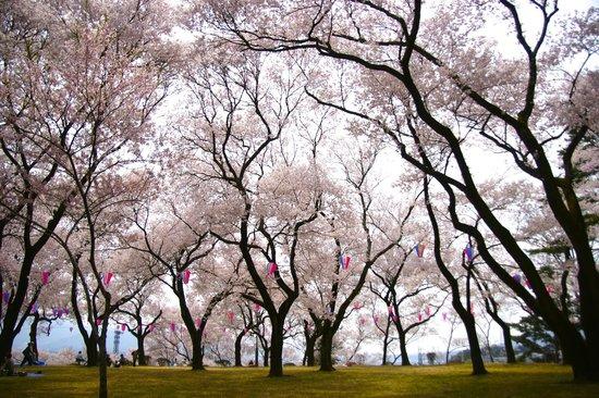 Kasuga Park: 桜満開