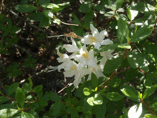 Sugarloaf Ridge State Park: Calif native azalea